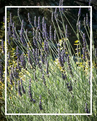 lavender_400x500_border