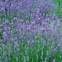lavendercropped-1