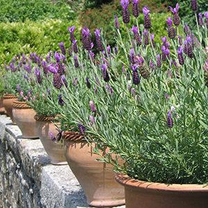 lavenderinpots-150x150@2x