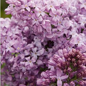 lavenderlady300x300-150x150@2x