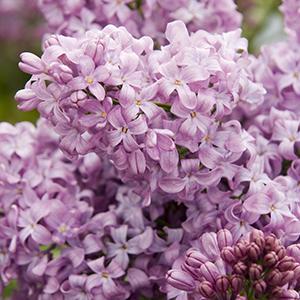 lavenderladycropped300