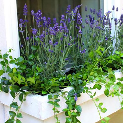 lavendervinca