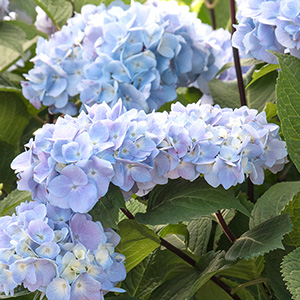 Blue Enchantress® Hydrangea
