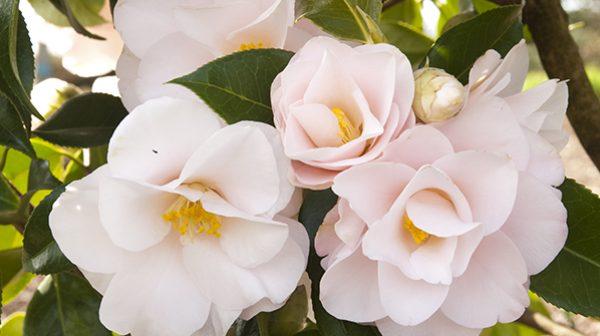 Buttermint Camellias
