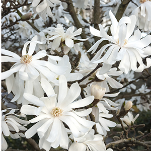 magnoliastellata300x300