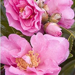 Marge Miller™ Camellia