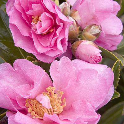 Marge Miller Camellia