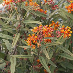 Red Butterflies Milkweed