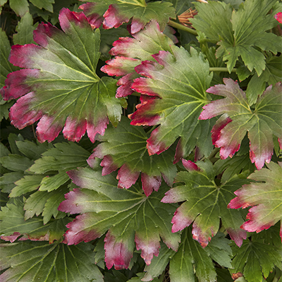 Red-Leafed Mukdenia