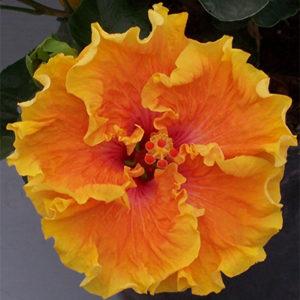 Heat Flash Cajun Hibiscus