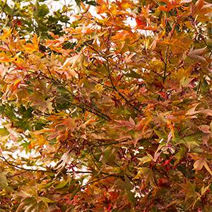 Osakazuki Japanese Maple