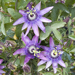 passionflowercropped