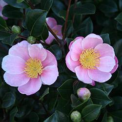 Pink-A-Boo® Camellia