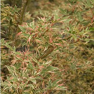 Kagiri Nishiki Japanese Maple