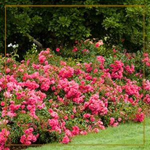 pinkcarpet300x300_goldframe-150x150@2x