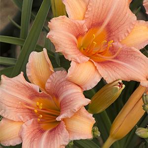 pinkdaylily