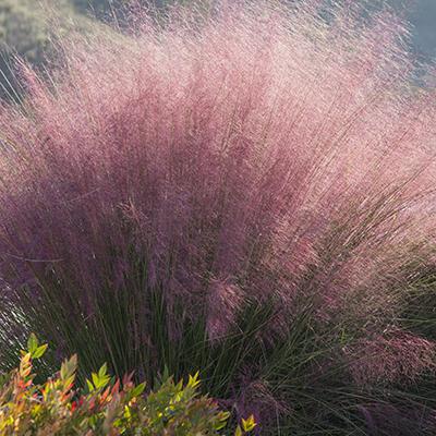 pinkgrass400-1
