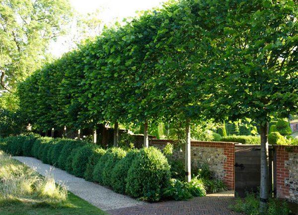 pleached-trees-form-a-window-600-300x217@2x