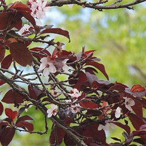 Dwarf Red-Leaf Sand Cherry