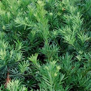 Pringles Dwarf Podocarpus