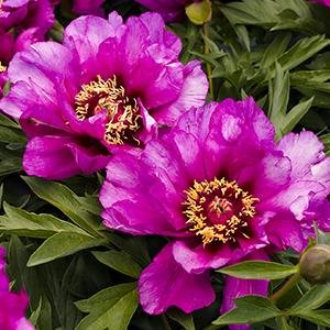 purplepeony