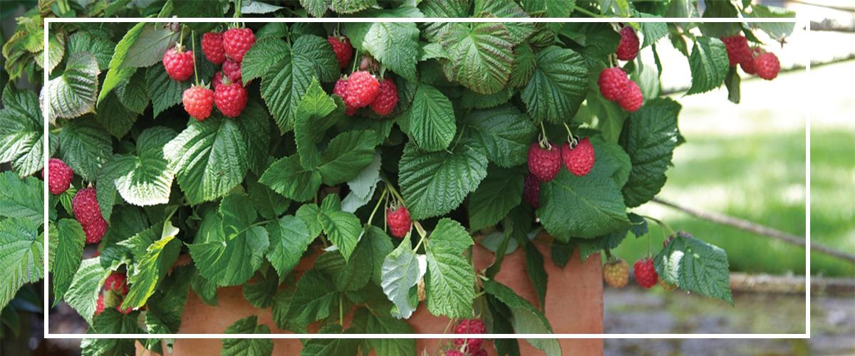 raspberries_12000x500_border