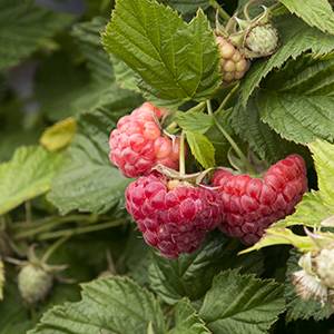 raspberry300x300