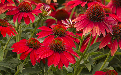 redconeflower400x250