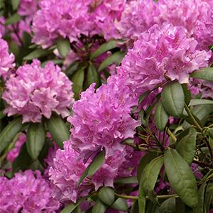 Roseum Elegans Rhododendron