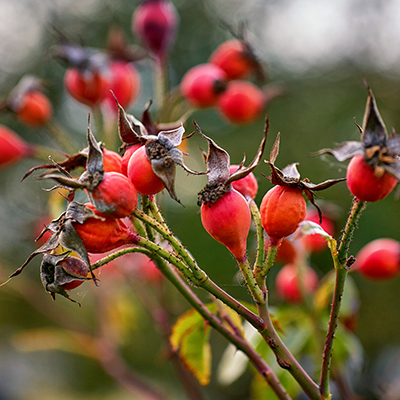 rose-hips-amber-groundcover-rose-400x400-1