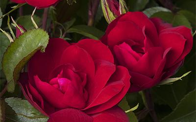 rosesaprilnowsthetime400x250