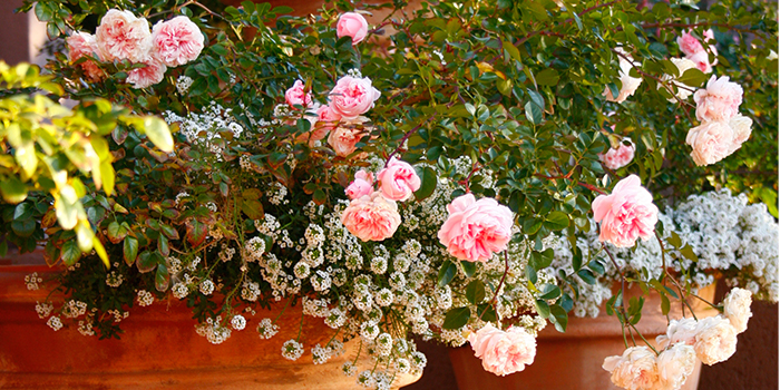 rosesincontainers700x350