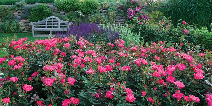 rosesmixedborder700x350
