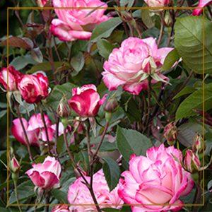 rosesresolution-300x300_goldframe-150x150@2x
