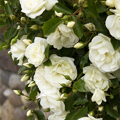 roseswhite400
