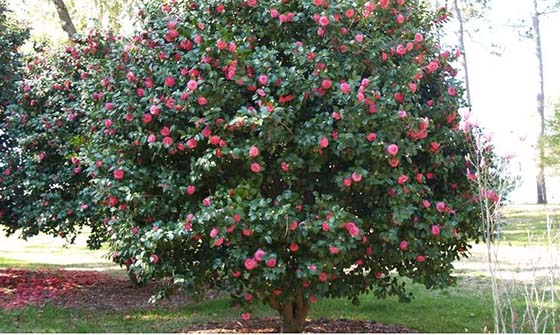 Multibranch Camellia tree, pruned to perfection; (image source: unknown)