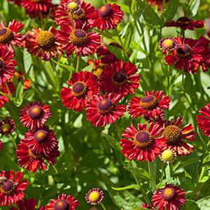 Ruby Charm Helen's Flower