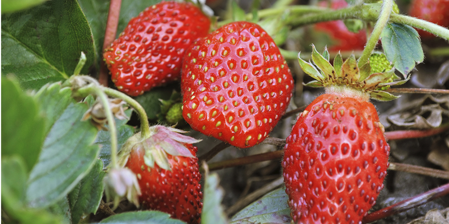 strawberriesfertilizer