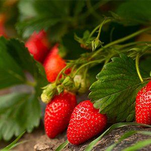 strawberry300x300-150x150@2x