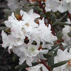 Sugar Puff Rhododendron