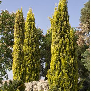 Swane's Golden Italian Cypress