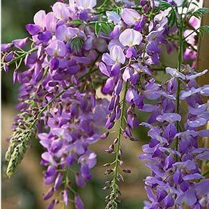 Texas Purple Japanese Wisteria