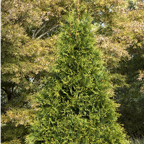 Top Conifers For Year Round Beauty Zone 7 10 Be Inspired