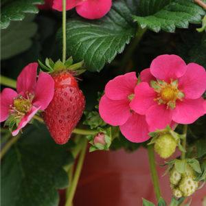 toscanastrawberry400x400-300x300