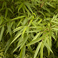 tropicalNEbamboocropped