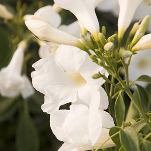 whitebowercropped