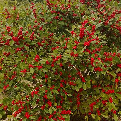 winterberrieslandscape400