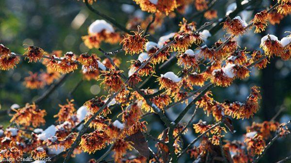 Winter-flowering fragrant shrubs