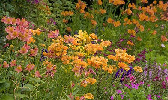 yellow-Blanket-Flower-Gaillardia-grandiflora-orange-flower-Peruvian-lily-Alstroemeria-and-Penstemons-560