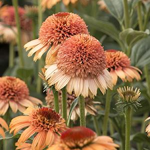 705-Echinacea-Supreme-Cantaloupe_M_837-300x300